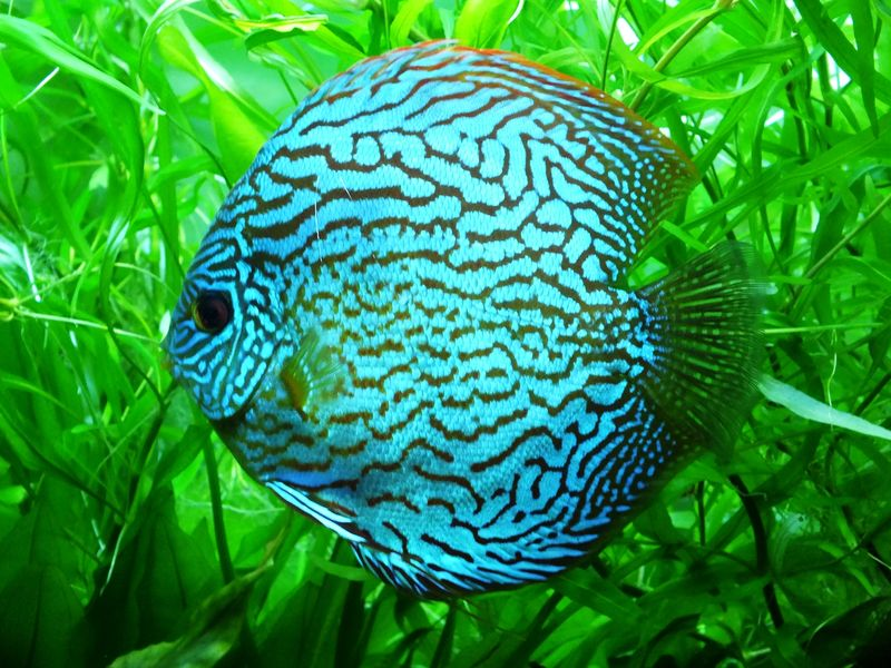 Discus Fish Green Color Nature Animal Wildlife Leaf Animals In The Wild One Animal Plant No People Animal Themes Close-up Beauty In Nature Day Outdoors UnderSea Sea Life Fish Discus Fish Discus Blue Discus