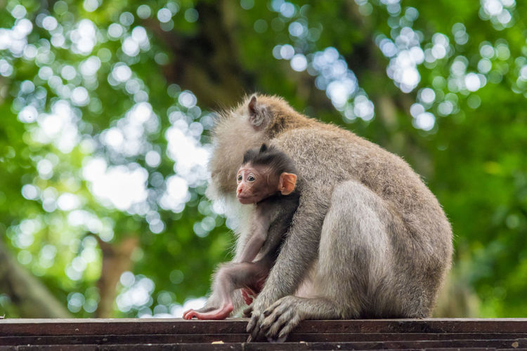 Monkey Family Relaxing On Wood