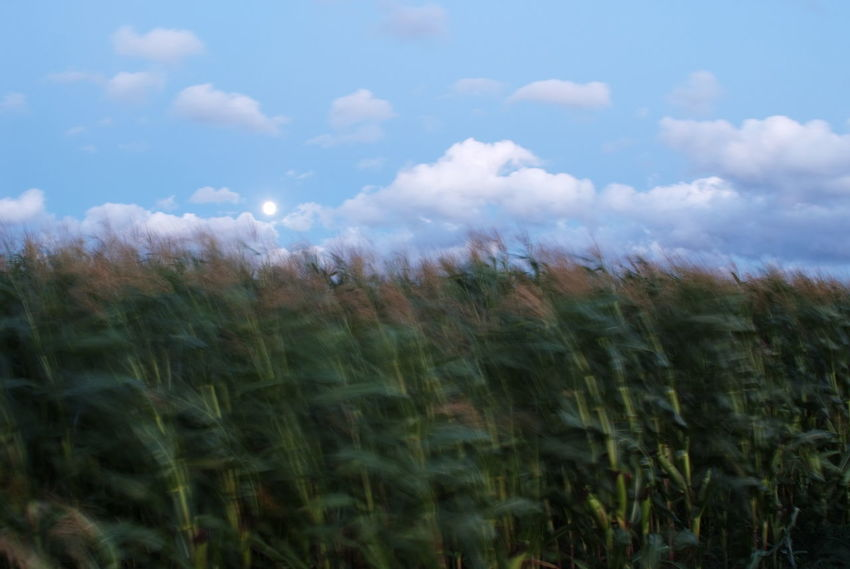 cornfield on a windy day. Foto (c) Kay-Christian Heine Agriculture Beauty In Nature Blurred Motion Corn Cornfield Crop  Day Field Fieldscape Green Color Growing Growth Landscape Maize Motion Blur Nature No People Outdoors Plant Rural Scene Scenics Sky Storm Wind Windy