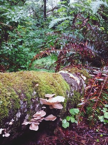 Beauty In Nature No People Day Tree Légumes Mother Tree Olympic National Park Quinalt Rain Forest Amongst The Trees Magical Forest Growth Woods Mother Nature RainyDay