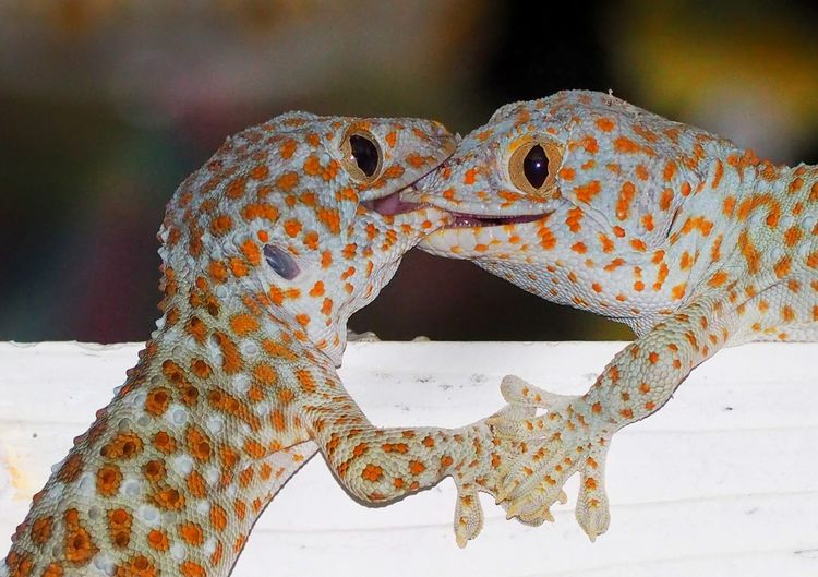 Reptile Close-up Gecko Animal Scale Confined Space Chameleon Bearded Dragon Exotic Pets Prison Bars Snake Security Bar Madagascar  Iguana Animal Markings Animal Tongue Hedgehog Animal Skin Camouflage Lizard Curled Up Namib Desert Prison Cell