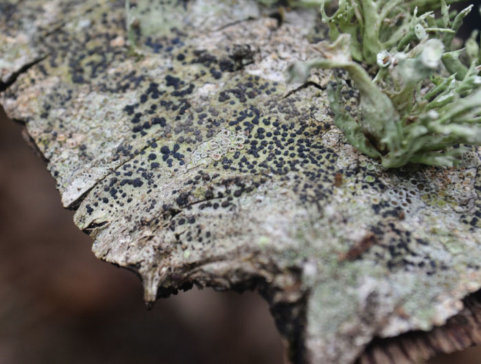 Beauty In Nature Fragility Lecidella Elaeochroma Lichen Lichen Beauty Lichen On A Tree Lichens Lichens On Tree Liechen Liquen Líquens Nature Textured  Tree