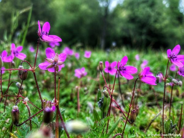 Little Pink Flowers Flowering Plant Flower Plant Freshness Growth Beauty In Nature Fragility Vulnerability  Petal Pink Color Flower Head Nature Inflorescence Close-up No People Day Focus On Foreground Land Field Outdoors