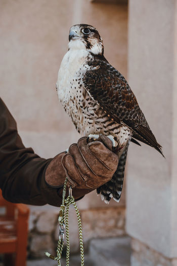 Arabic falcon sitting on the hand