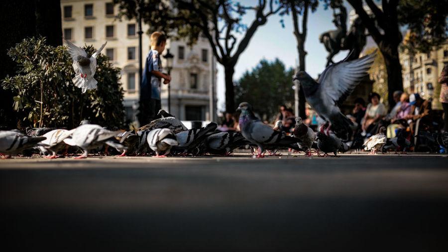 Flock Of Pigeons On Road