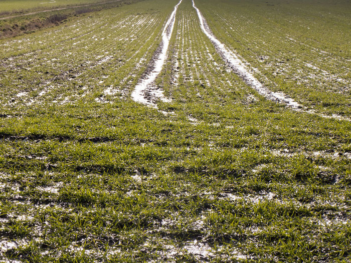 Tire tracks can be seen on a very wet field sown with winter grain Plant Land Field Landscape Growth Tranquility Environment No People Scenics - Nature Agriculture Green Color Tractor Tracks Tire Track Rural Scene Wet Water Ice Snow Grass Grain Agriculture Farm Countryside Direction