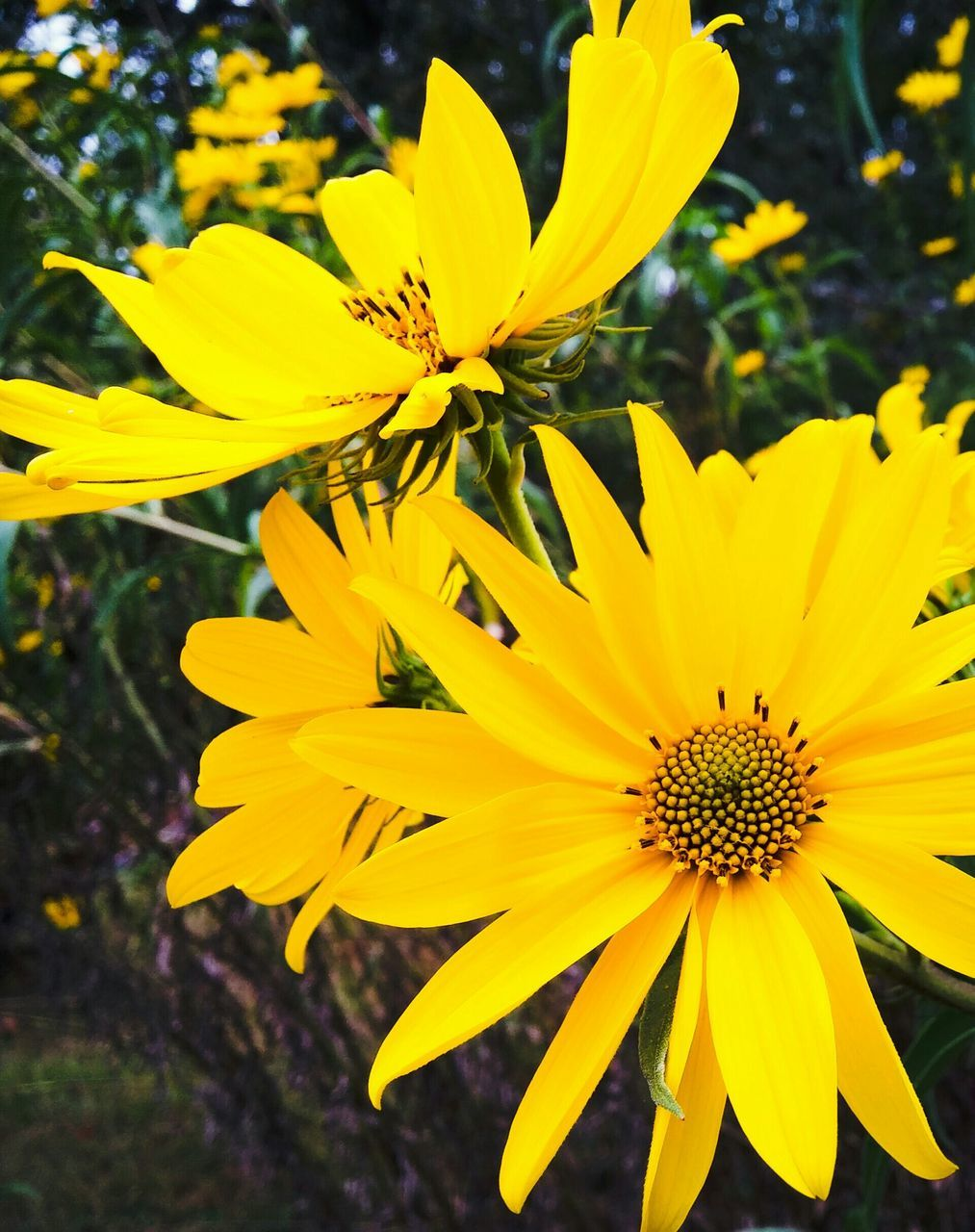 flower, yellow, petal, fragility, flower head, beauty in nature, growth, nature, freshness, outdoors, plant, no people, close-up, day, blooming, springtime, black-eyed susan