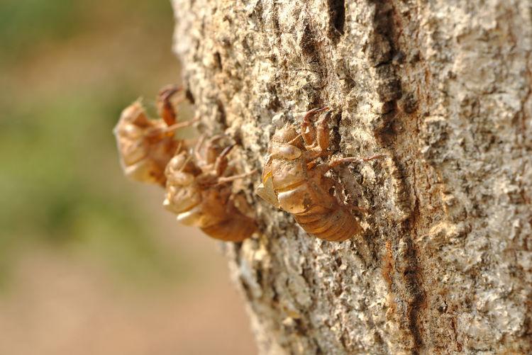 Cicada shell on