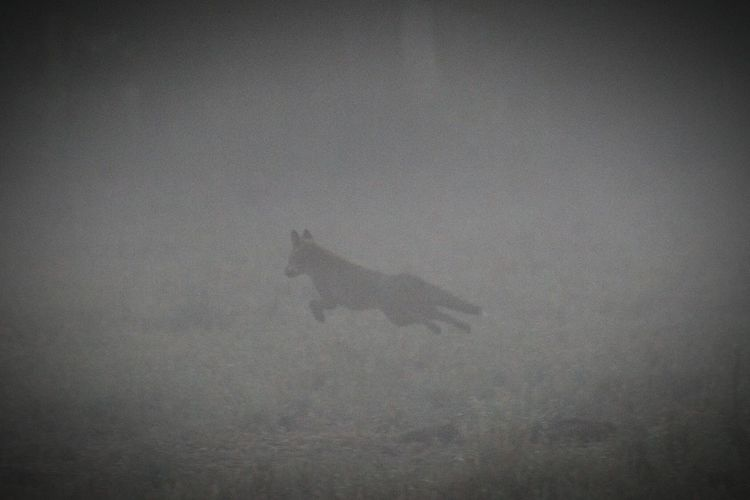 Fox Fox On The Run Eyeem Australia Daybreak EyeEm Best Shots Dawn Outdoors Close-up Silhouette The Great Outdoors - 2017 EyeEm Awards