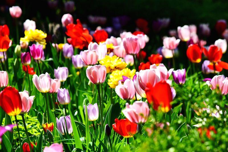 Tulips🌷 Tulips