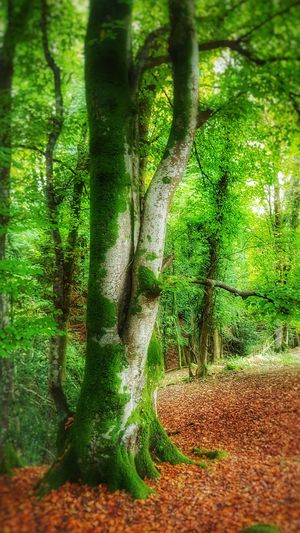 Haldon Forest Forest Green Color Nature Growth Tree No People Beauty In Nature Day Outdoors Freshness Tree Tree Trunk Moss Moss & Lichen Mossy Tree Moss-covered Moss On Trees Green Greenery Freedom Freshair Green Color Nature Growth