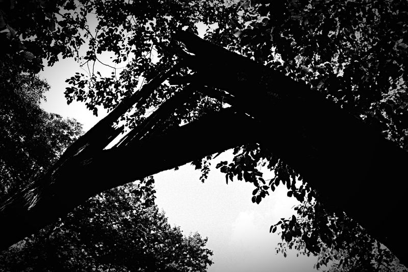 Wounds 35mm Film Low Angle View Tree Analog Photography Olympus Zuiko Clear Sky Silhouette Sky Directly Below Outdoors Analogue Photography Blackandwhite Nature Beauty In Nature Wounded 35mmfilm Zuiko 50mm Analog Filmisnotdead Forest Photography No People Film Photography EyeEm Nature Lover