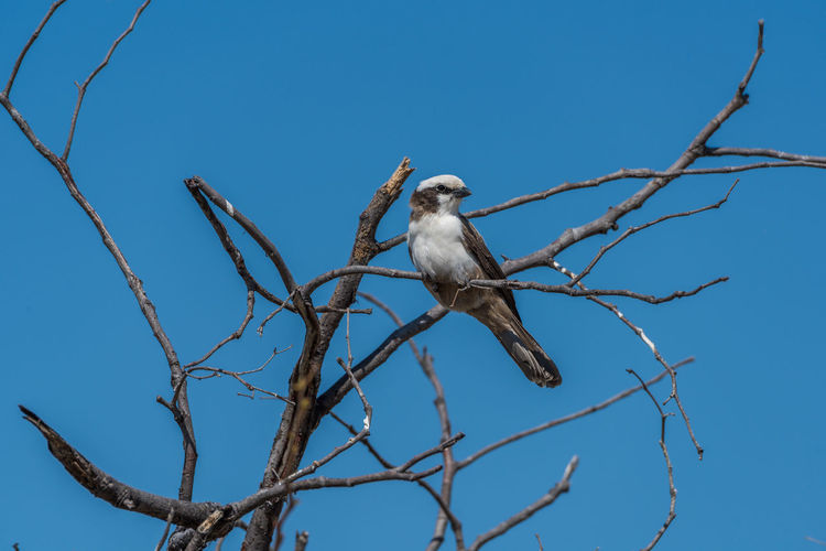Animal Animal Themes Avian Beauty In Nature Bird Bird Of Prey Blue Clear Sky Close-up Day Focus On Foreground Low Angle View Nature No People Outdoors Perched Perching Sky Southern Pied Babbler Wildlife