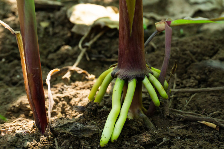 The root of the stem of the corn tree, air roots. Root Roots Corn Air Air Roots Close-up Green Red Vegetable Land Field Growth Nature Agriculture Outdoors Farm Plant