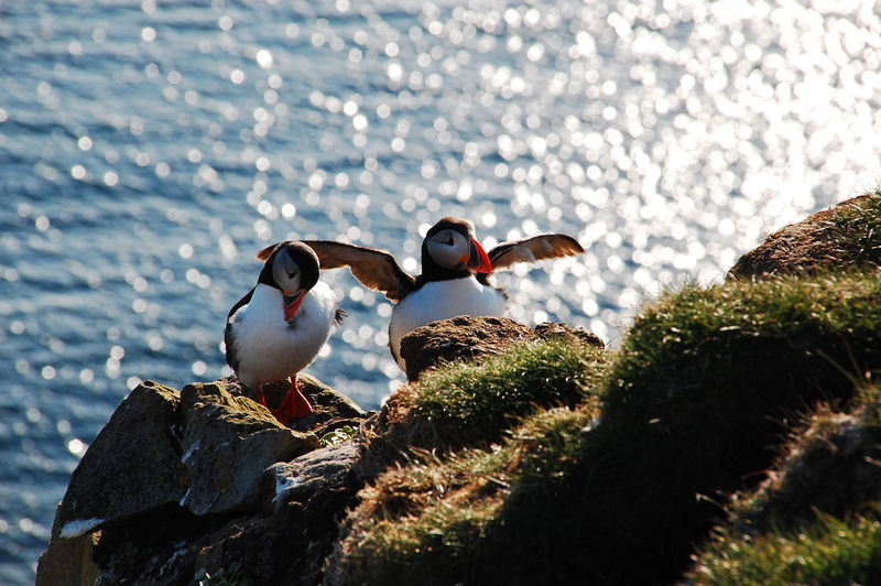 High angle view of puffins on rock against sea