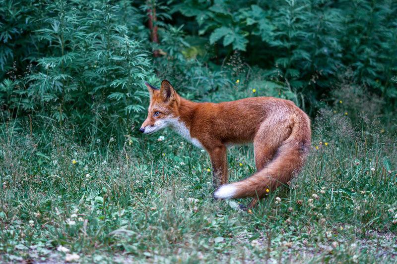 Fox standing in field