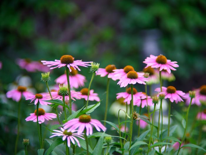 Close-up of pink flowering plant echinacea on garden