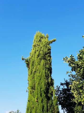 oblong tree Upright Blue Sky Summer Nature uniqueness Tree Clear Sky Blue Branch Perching Cactus Sky Close-up Plant Green Color Botany Plant Life