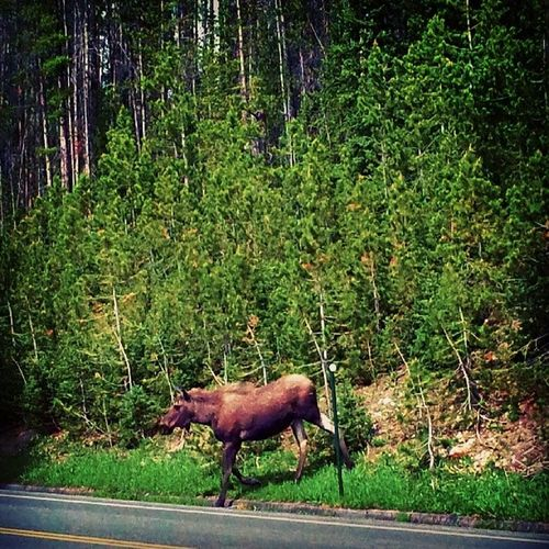 Instagramco GrandLake Colorado Ignoco Moose Natureyoucrazy Wildanimal Trees Green Animalcrossing Mooseintheroad Gonnastoptraffic Upnpersonal Whydidthemoosecrosstheroadslowly Topissoffdrivers LOL Beautifulafternoons Cleanair Igersonly Igwildmoose Instagramhub @instagram Inthewild Coloradolivin