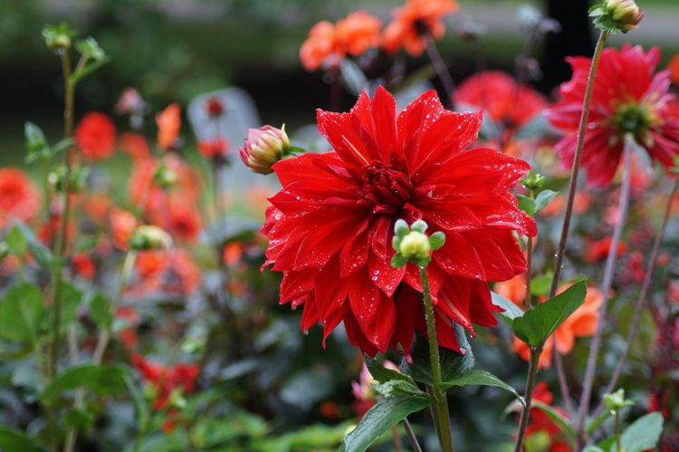 Beauty In Nature Blooming Close-up Day Flower Flower Head Focus On Foreground Fragility Freshness Growth Hibiscus Nature No People Outdoors Park - Man Made Space Petal Plant Red Zinnia