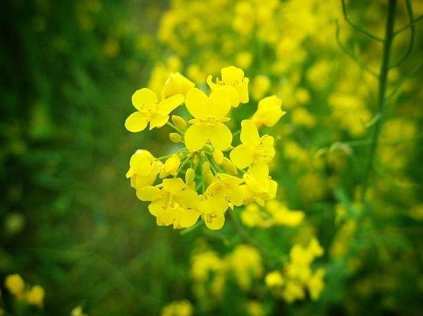 대저유채꽃축제 유채꽃 . .Photography Photographer 부산 Busan Spring Flower 일상 데일리 감성 감성사진 사진 여행 일상공유 Sotong 미러리스 Follow Followme Photo Travel Daily Southkorea