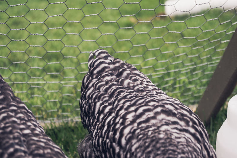Animal Markings Black Color Chickens Close-up Day Feather  Focus On Foreground Green Color Natural Pattern Nature No People