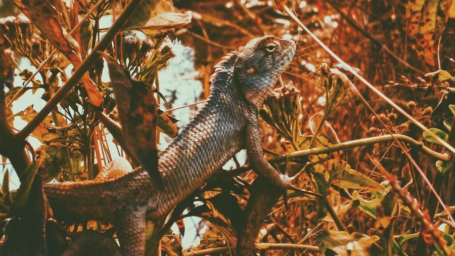 all left of the mighty dragons.. Smartphonephotography Awesome_shots Real People EyeEm Best Shots First Eyeem Photo Awesome_nature_shots Chameleon Dragon Crown Crown Of Thorns Vscocam Nature Nature_collection Nature Photography Animal Themes Animals In The Wild Day Check This Out