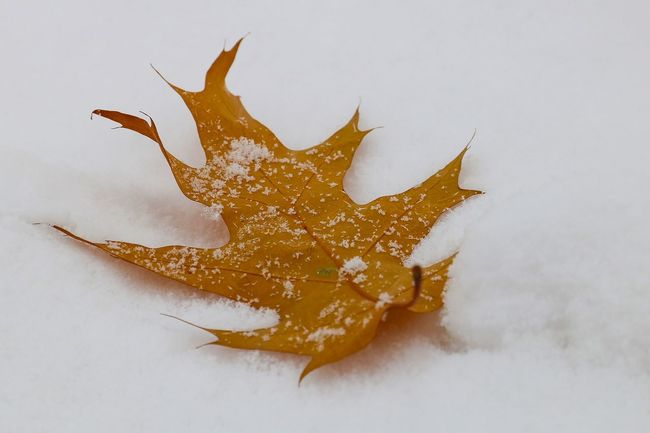 Cold Temperature Day Fallen Leaf Nature No People Oak Oak Leaf Outdoors Snow Snowflakes Winter Yellow Yellow Leaves