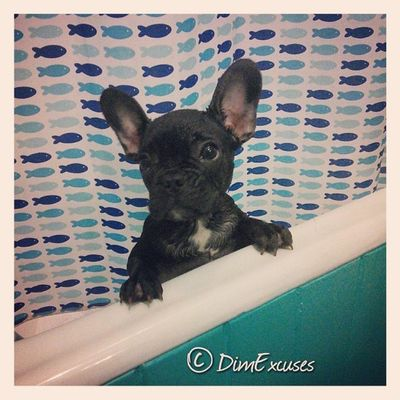 Someone hates Bathtime AdventuresOfMolly Frenchbulldog