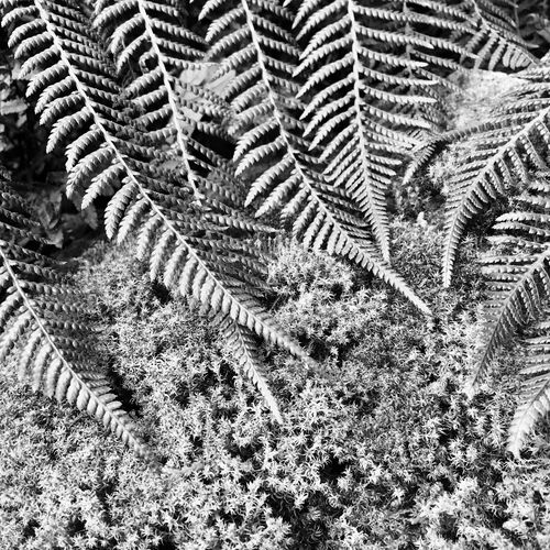 Fern Moss Nature Pattern High Angle View No People Outdoors Day Growth Close-up IPhoneography Beauty In Nature Black & White EyeEm Nature Lover Art Is Everywhere
