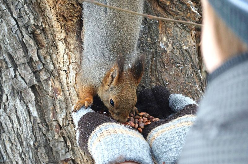 Close-Up Of A Squirrel Eating Nuts From A Persons Hands