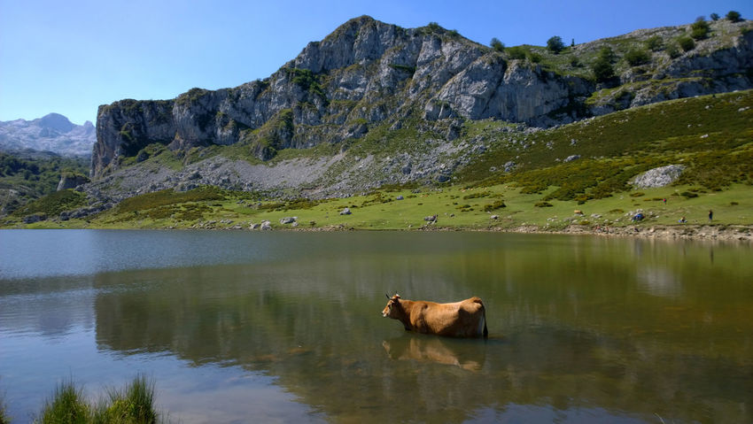 View of a cow at Lake Ercina in Lakes of Covadonga, Asturias - Spain Animal Animal Themes Asturias Covadonga Cow Ercina Lago Ercina Lagos De Covadonga Lake Lakes  Landscape Mammal Mountain Nature Outdoors Peak Picos De Europa Picturesque Reflection Rural Scenics SPAIN Tourism Travel Water
