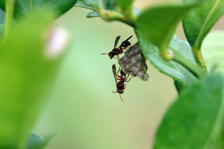 Small brown paper wasp nest on a kaffir lime bush in Thailand Paper Wasp Paper Wasp Nest Invertebrate Insect Animals In The Wild Animal Wildlife Animal One Animal Green Color Nature Wasp