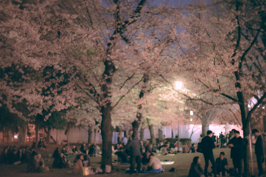 皇居付近 After Five Beers Beauty In Nature Business Group Flower Hanami Hanami Party Illuminated Night Night In Tokyo Night Out Nighttime Outdoors People Sakura 2017 Sakura Blossom Tokyo Tree