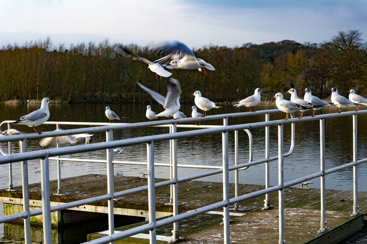 Sea gulls at Whitlingham Country Park, near Norwich. Norwich Whitlingham Country Park Animal Themes Animal Wildlife Animals In The Wild Beauty In Nature Bird Day Lake Large Group Of Animals Nature No People Outdoors Perching Sky Spread Wings Swan Water