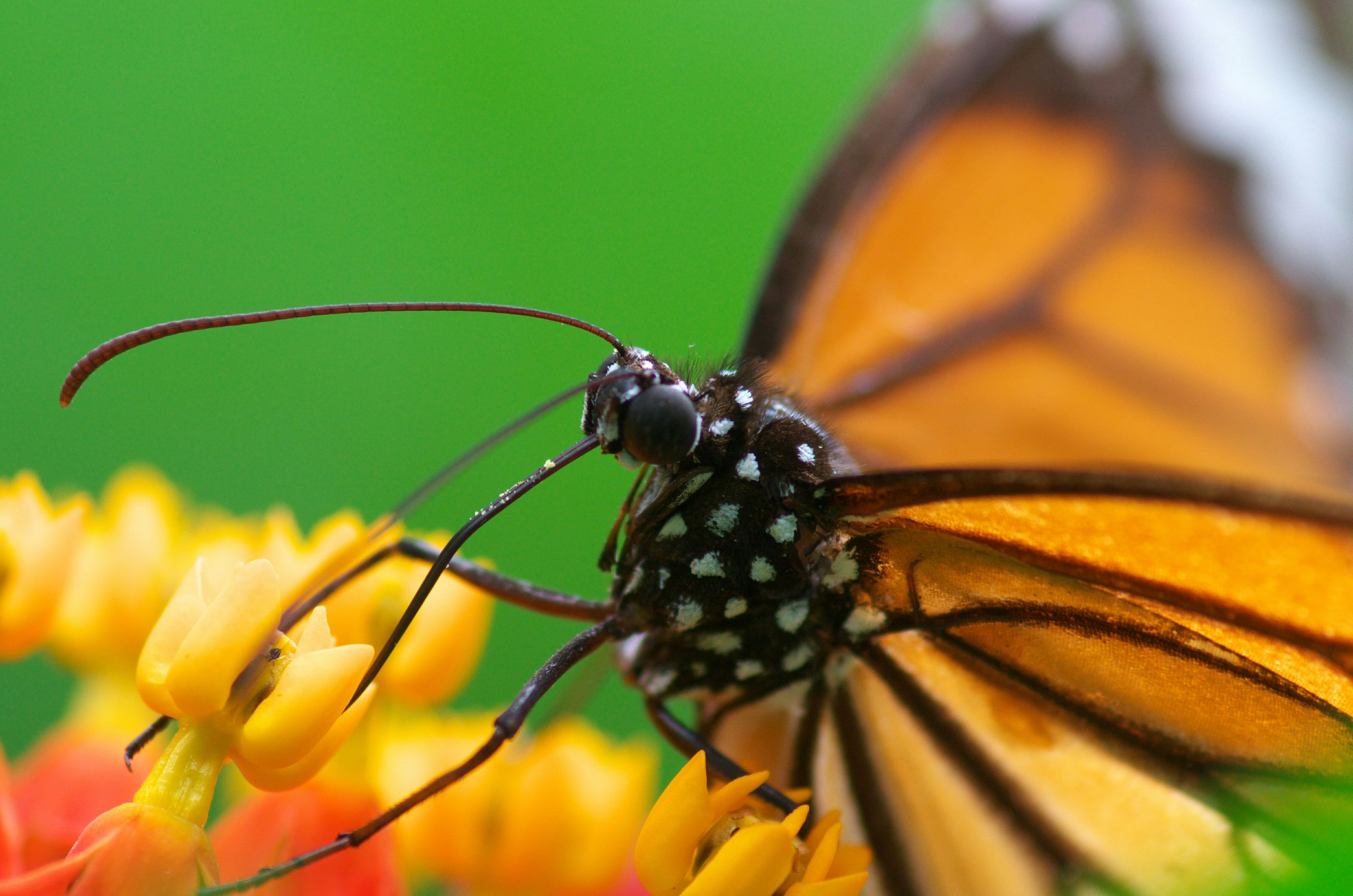 insect, one animal, animal themes, animals in the wild, wildlife, close-up, butterfly - insect, focus on foreground, butterfly, flower, animal wing, animal markings, beauty in nature, pollination, nature, natural pattern, animal antenna, fragility, plant, perching