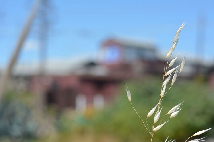 Summer Summer Haze Close-up Macro Grass close-up Nature No People Outdoors Plant Red Building Sky Oats Wild Oats Building And Sky Building Out Of Focus Building Outline Summer Day Coastal Life