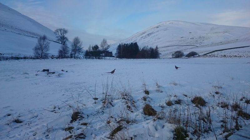 Pheasants mooching about in the snow. Pheasants Pheasant Coquet Valley Snow Snow ❄ Barrowburn Northumberland National Park Northumberland North East England North East Snow Covered Snow Day Snow❄⛄ Snowscape Snowy Days... Cheviothills Cheviots Uk Barrowburn Tea Room The Purist (no Edit, No Filter) Landscapes With WhiteWall