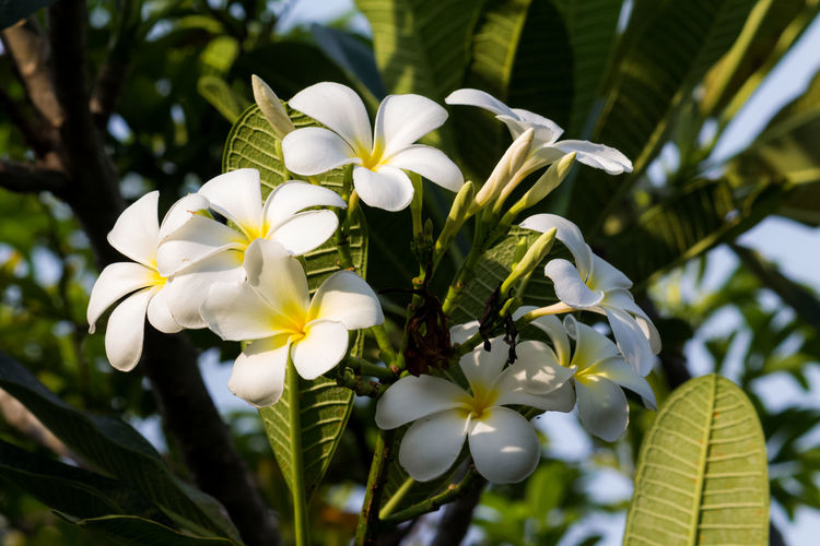 Thailand Thai Flower Nature Plant Tree Beutiful  Summer Bloom Flora Close-up Flesh Spring Blooming Isolated