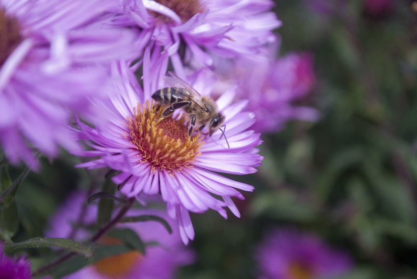 Animal Themes Animals In The Wild Beauty In Nature Bee Close-up Day Flower Flower Head Fragility Freshness Growth Insect Nature No People One Animal Outdoors Petal Plant Pollination Purple
