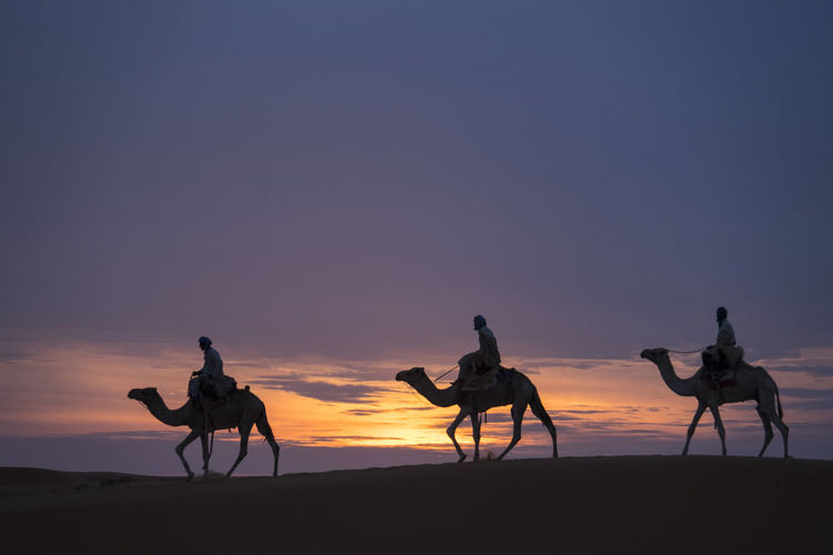 Three holy kings riding on camels through Sahara desert during sunset Sahara Desert Sand Dune Afternoon Light Morocco Adventure Tourist Attraction  Travel Destination Three Holy Kings Sky Silhouette Sunset Mammal Domestic Animals Lifestyles Scenics - Nature Orange Color Domestic Real People Land Group Of People Beauty In Nature Men Group Of Animals Riding Outdoors