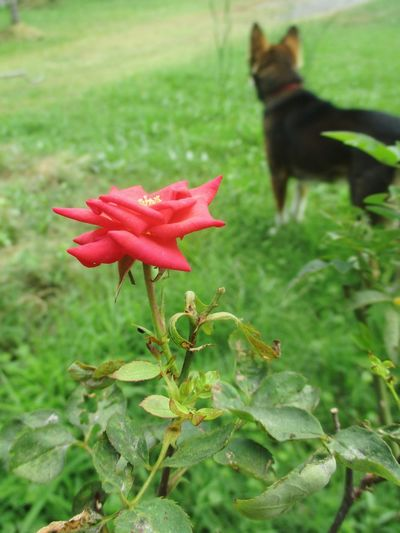 red rose in the field Flower Pets Plant No People Nature Red Dog Green Color Growth One Animal Animal Themes Leaf Outdoors Beauty In Nature Flower Head Domestic Animals Close-up Fragility Day