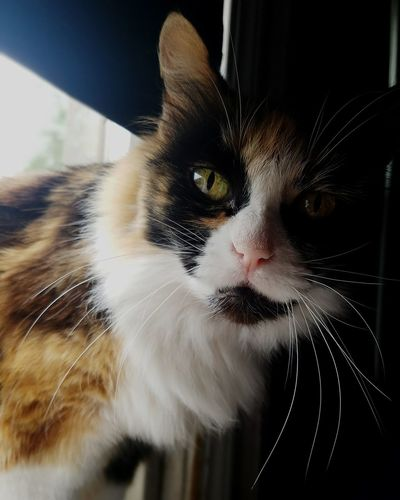 My beautiful Maddie Cat Portrait Calico Cat Calico EyeEm Best Shots Eyeem Market EyeEm Best Shots EyeEm Gallery Pets Portrait Domestic Cat Feline Looking At Camera Black Color Close-up Whisker Yellow Eyes Animal Eye Animal Face Kitten Cat At Home Animal Nose