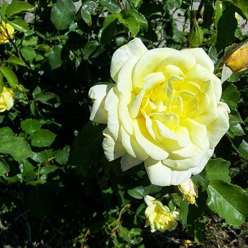 Rosabianca Purezza Flower