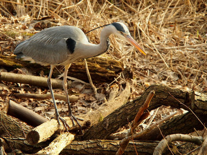 Heron perching on a land