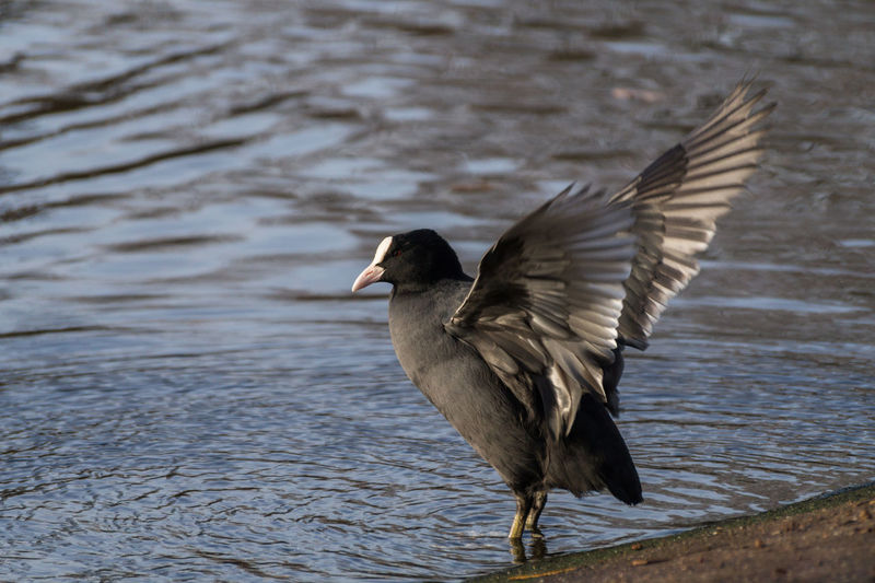 Close-of a beautiful Coot with ourspread Wings at the Shore Wing Wings Closeup Birds Black Fulica Moorhens Aves Wildlife Animals Water Bird Wild Water Nature Shore Coots Coot Rallidae Pond