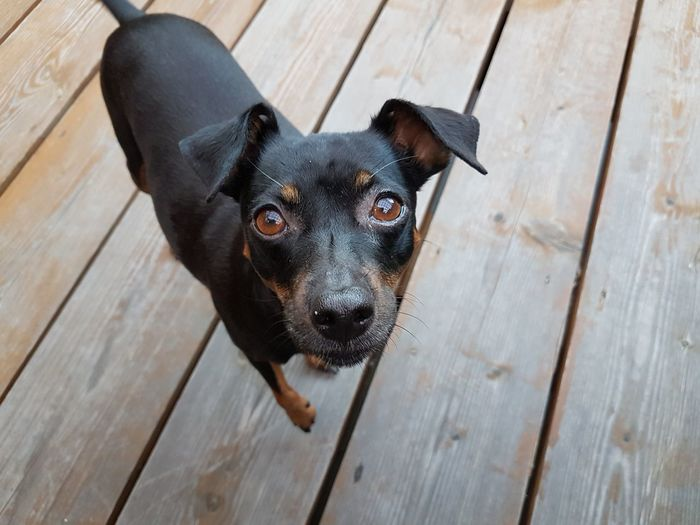 Portrait of black dog on wooden floor