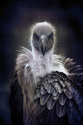 Who You Looking At Animal Themes Beauty In Nature Bird Bird Photography Birds Of EyeEm  Close-up Nature No People Outdoors Raptor Vulture Vultures Observing Wildlife Photography