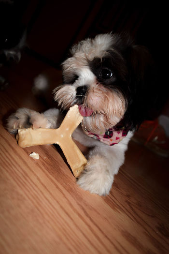 Hungry Puppy is experiencing the delights of a chew toy. Animal Animal Head  Animal Photography Animal Themes Animals Baby Bones Boston Terrier Canine Close-up Dog Dogs Domestic Animals Eat Eating Hair Headshot Indoors  Mammal No People One Animal Pet Clothing Pets Portrait Puppy