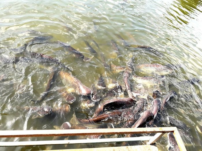 Fish Water Animal Themes Swimming No People Thailand วัดเชิงท่า
